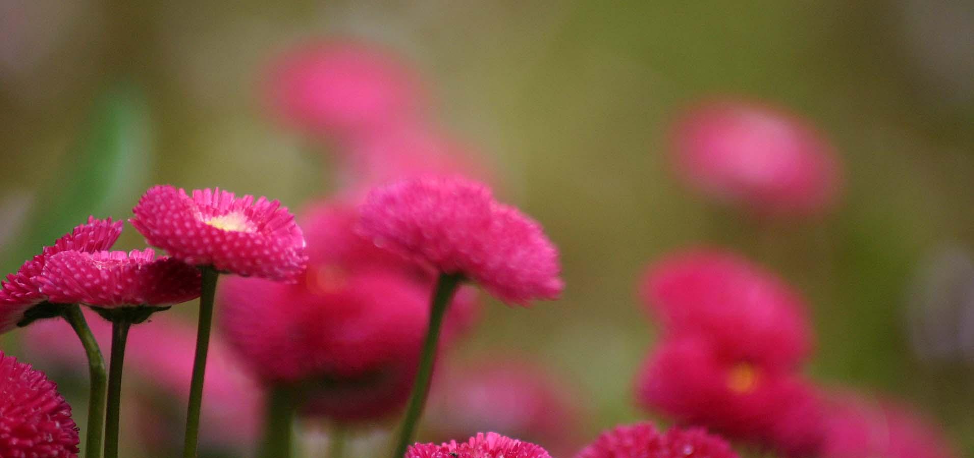 Merle Neumann fotografiert – Gänseblümchen